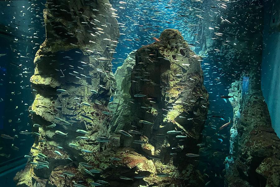 カタクチイワシやマイワシが泳ぐ「チリの岩礁地帯」水槽、搬入後の様子(5日・海遊館)