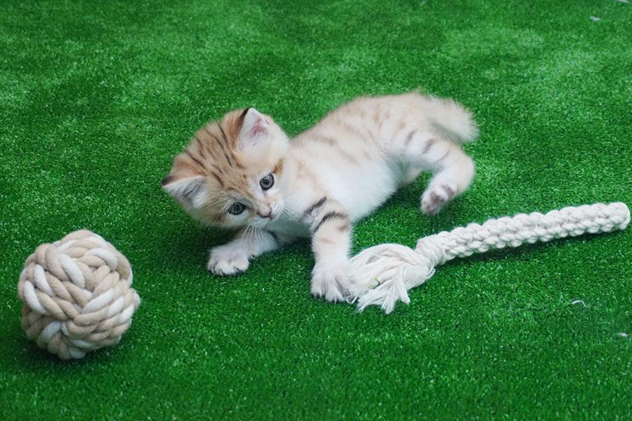 おもちゃで遊ぶ「王子」ことスナネコの赤ちゃん(6日・神戸どうぶつ王国)