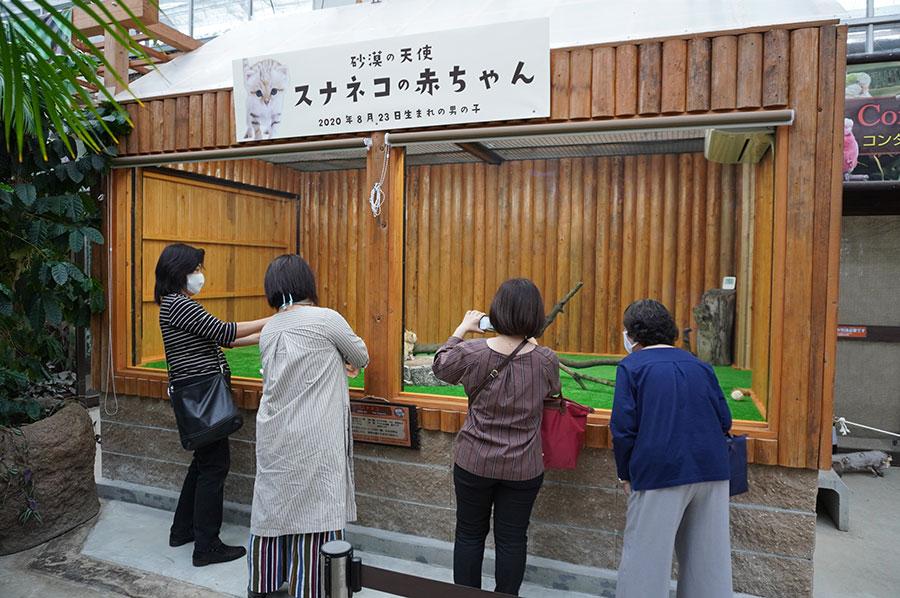 お客さんたちにも臆することなく、遊びまわる王子ことスナネコの赤ちゃん(6日・神戸どうぶつ王国)