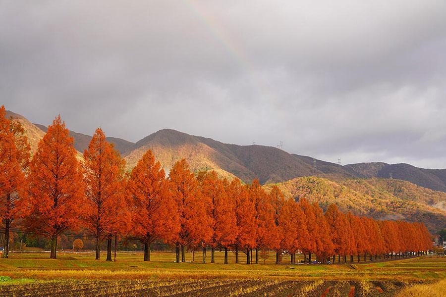滋賀メタセコイア並木が見頃に、今年は観光客に変化