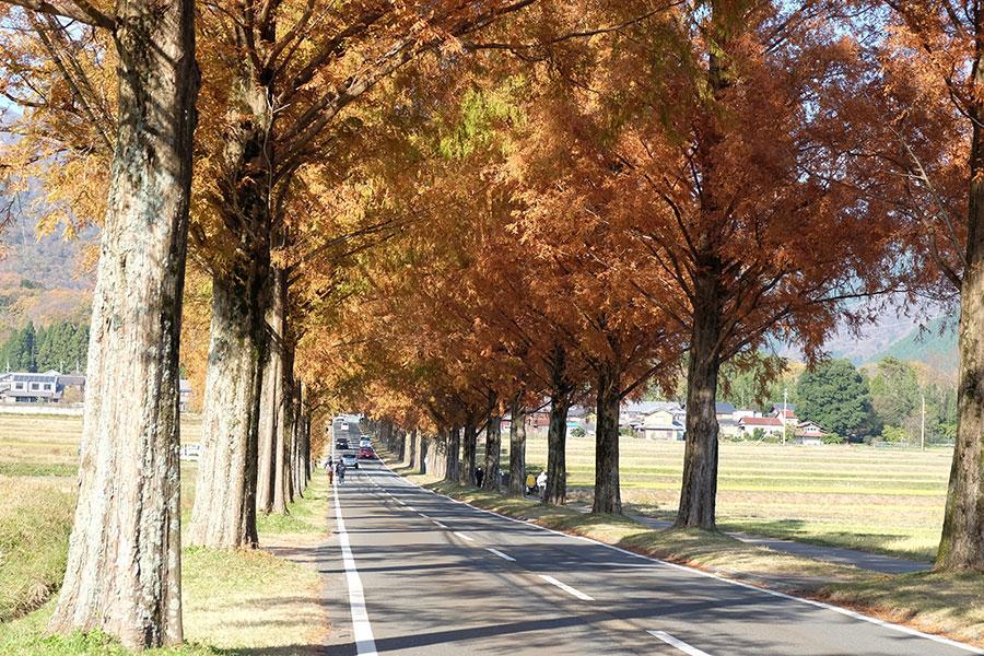 11月下旬から見頃を迎えたメタセコイア並木(11月27日撮影)