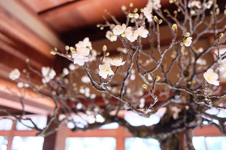 長浜市で開催中の『長浜盆梅展』。館内に漂う甘酸っぱい香りと小さな梅の花が早春を予感させる