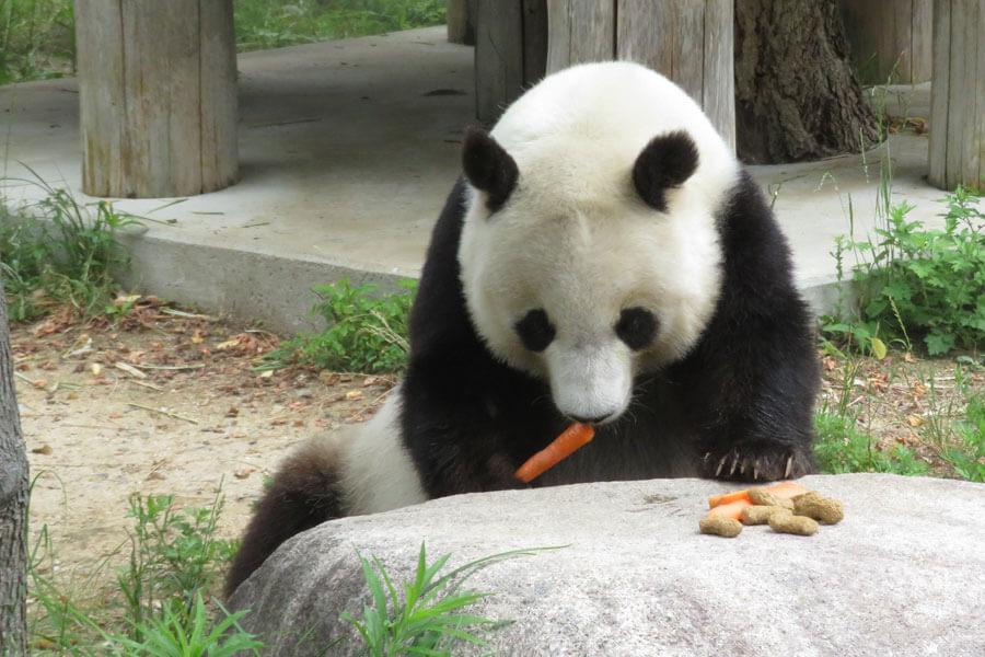 「王子動物園」の人気者、パンダのタンタン(メス)。25歳と高齢になり、中国への帰国が決まっている