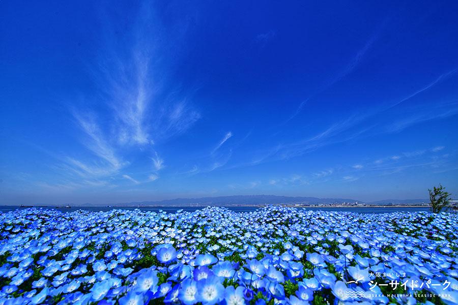 大阪で『ネモフィラ祭り』開催、花・空・海の青色が絶景