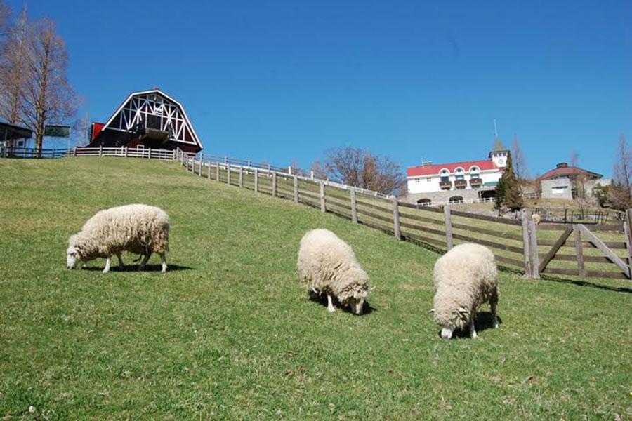 神戸市六甲山牧場の羊