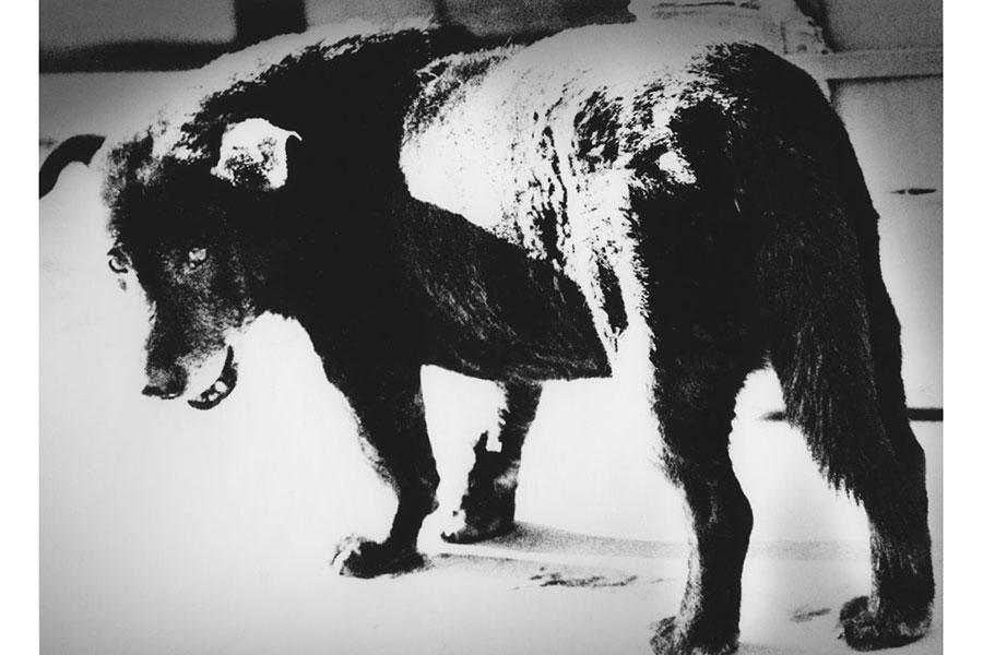1971年の作品《三沢の犬》、海外では《stray dog》と呼ばれている。(C)Daido Moriyama Photo Foundation