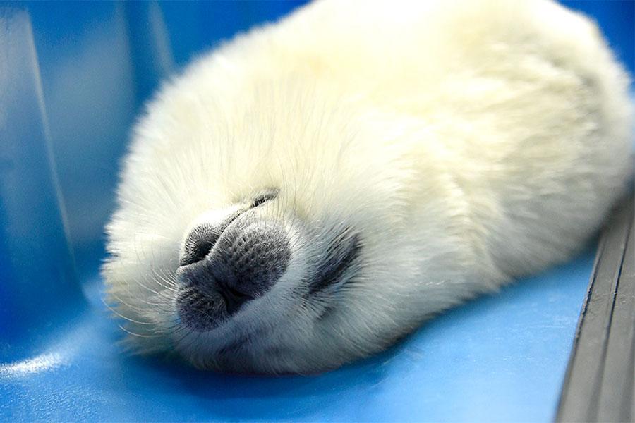 すやすや眠るワモンアザラシの赤ちゃん(提供:海遊館)