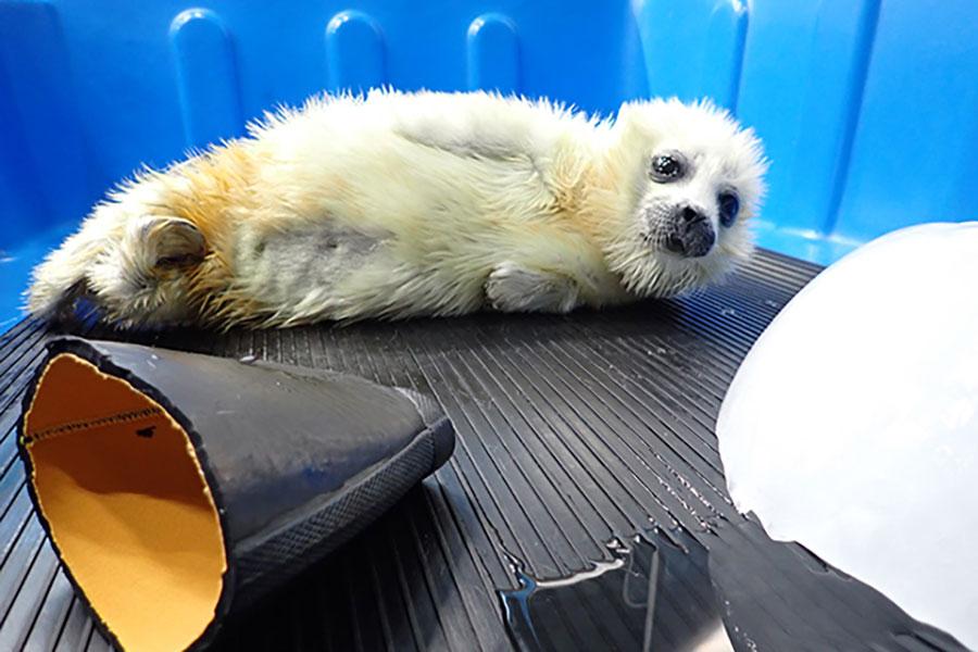 誕生時は2.44kgだった体重は8kgほどに増え、すくすくと成長しているワモンアザラシの赤ちゃん(提供:海遊館)