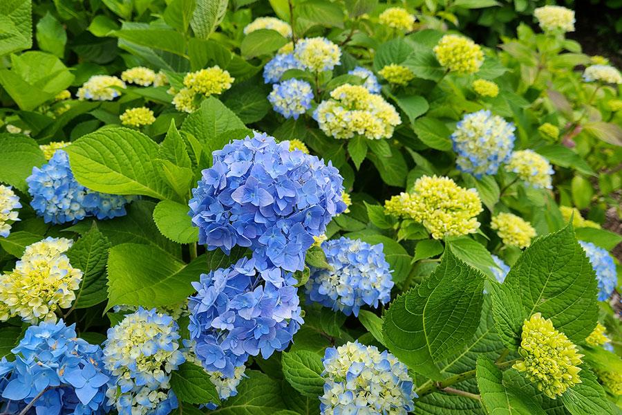 ひと足早い紫陽花の姿を楽しみに訪れる人も(5月14日撮影)