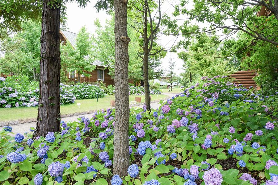 過去の『森のガーデンとあじさい』。見頃を迎えた頃。美しい紫陽花ロードを楽しめる