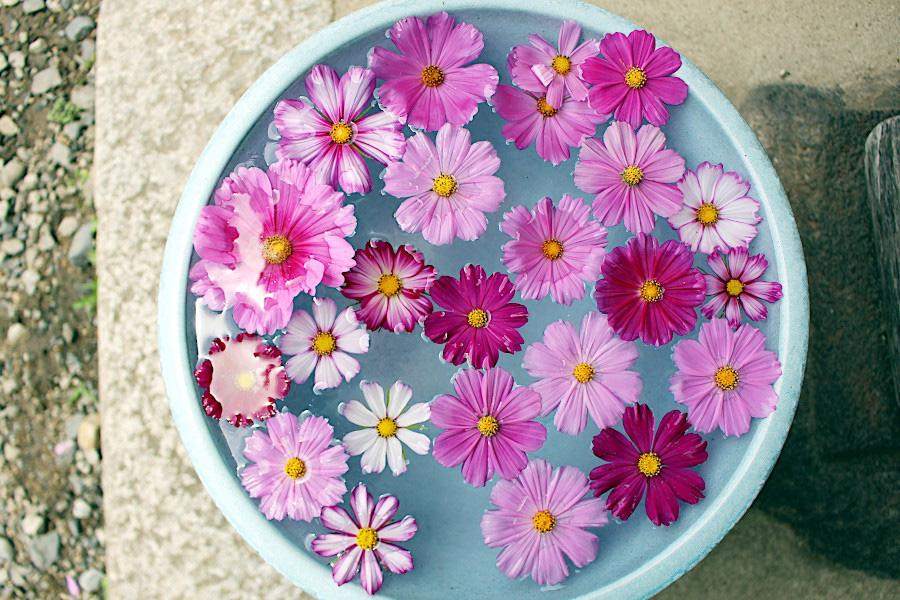 インスタ僧侶で知られる工藤副住職のアドバイス通り、真上から撮影した初夏コスモスの花手水
