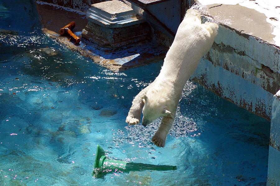 ダイブするホッキョクグマの赤ちゃん・ホウちゃん(写真:天王寺動物園提供)