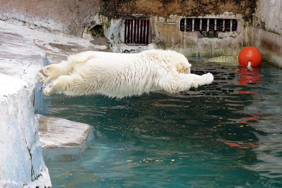 飛び込みを楽しむホッキョクグマの赤ちゃん・ホウちゃん(写真:天王寺動物園提供)