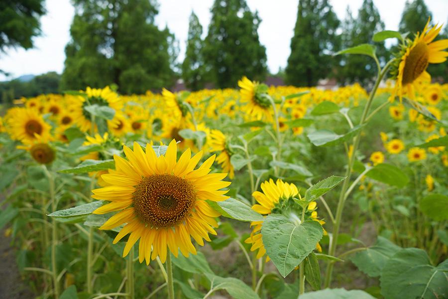 今が見頃、滋賀で10万本が咲き誇る「ひまわりフェスタ」