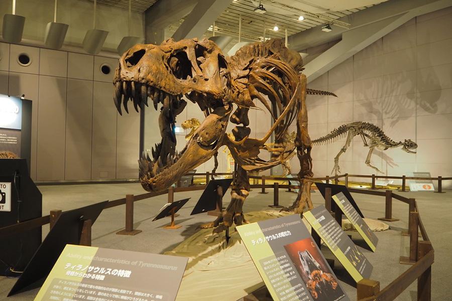 ティラノサウルスの大型標本。子どもの時より大人になり、身体が大きくなると走るスピードが落ちるという