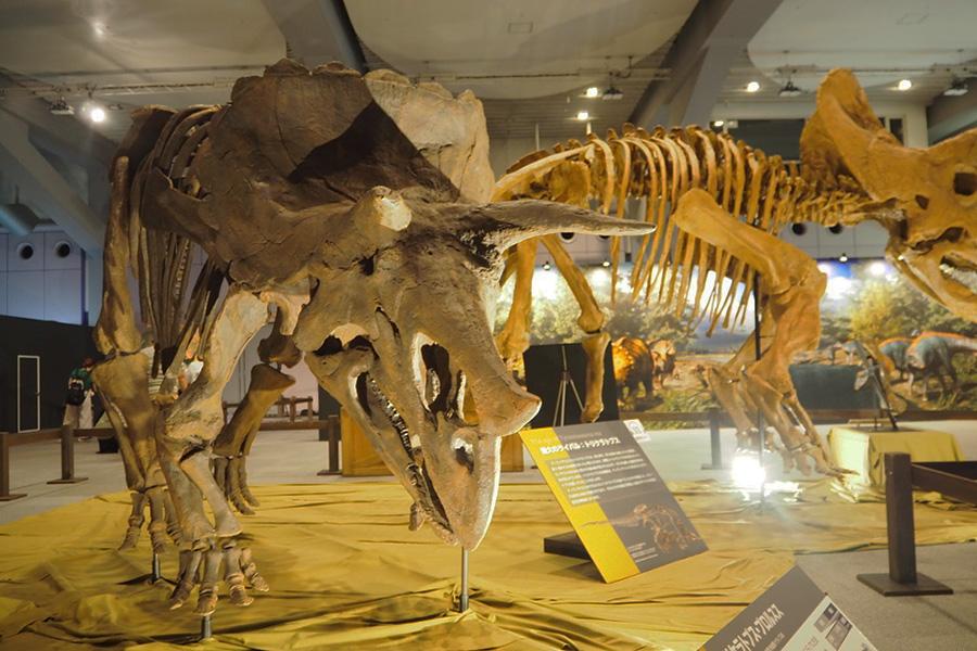 トリケラトプス・プロルスス。実はトリケラトプスは2種類に分かれており、プロルスス種とホリデュス種がいる。違いは、眼の上の角の長さや、吻部の長さ