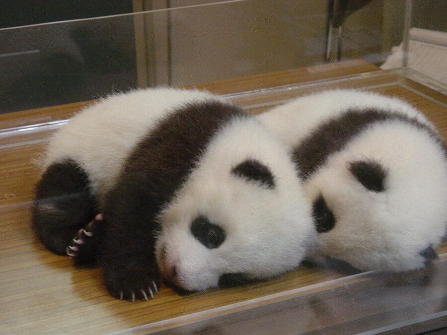 2006年にアドベンチャーワールドで生まれた双子パンダ「愛浜(あいひん)」と「明浜(めいひん)」。二木さんは明浜の名づけ親になった(二木さん提供)
