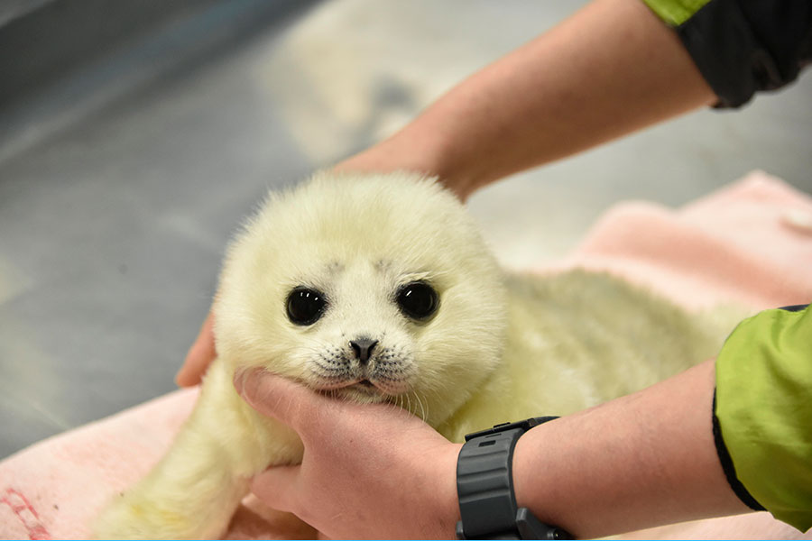 海遊館のワモンアザラシ赤ちゃん、愛称が決定…パネル展も開催