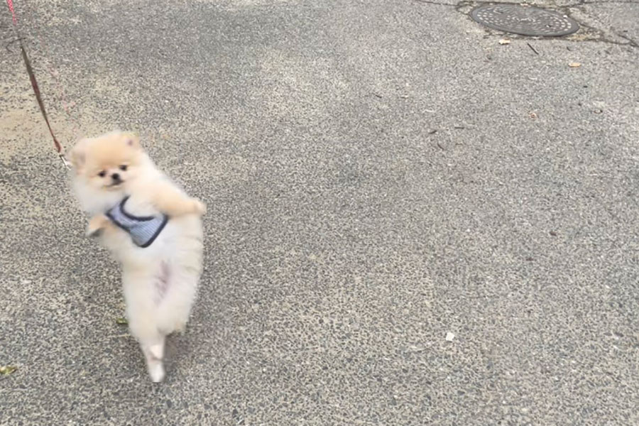 ワクワクしすぎて二足歩行になるポメラニアンの男の子・ルートくん(写真提供:@lute0508さん)