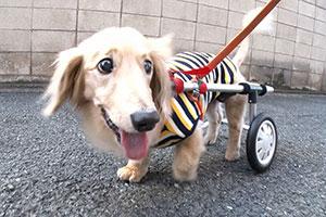 歩けない犬を救いたい…「犬用車椅子」作りに励む夫婦に迫る