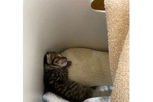 温めたお米が入った靴下に抱き着いてスヤスヤ寝ています(提供:しぴ(ソマリ)と、突然現れた保護猫ちゃんの記録ᓚᘏᗢさん)