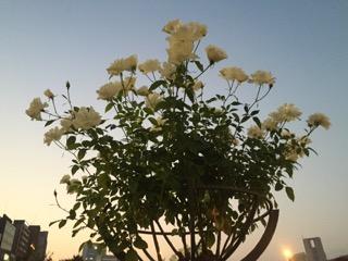 真歩(長女)が中之島公園で2年前に撮ったバラ